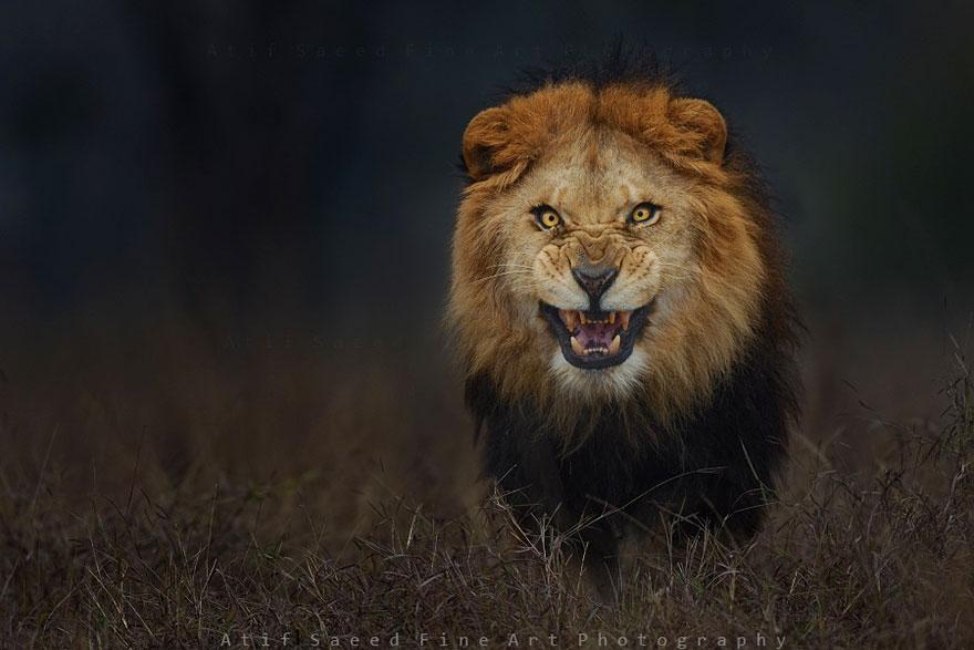 foto-leon-atacando-vida-salvaje-atif-saeed (2)