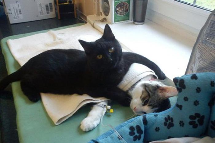 Este increíble gato enfermero de Polonia cuida de los otros animales del refugio