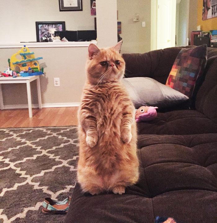 Este es George, un gato muy humano que prefiere estar sobre 2 patas
