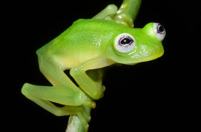 Unos científicos descubren en Costa Rica a la rana René / Gustavo en la vida real