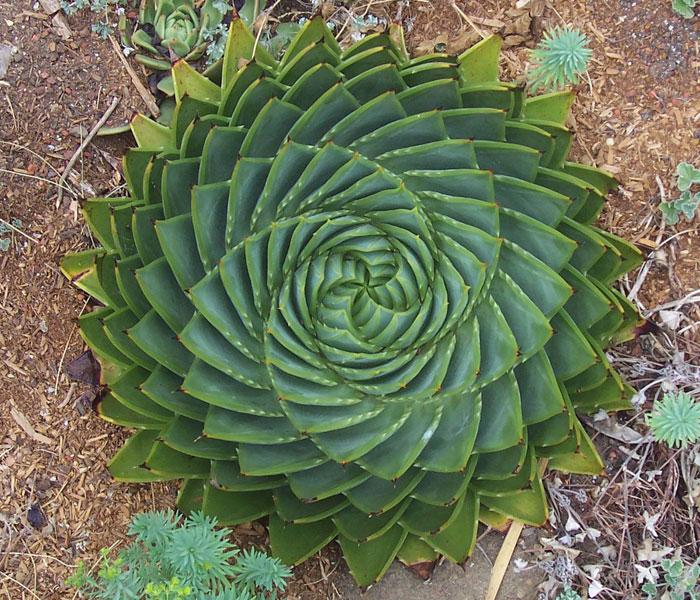 20 Fotos de plantas geométricas para los amantes de la simetría