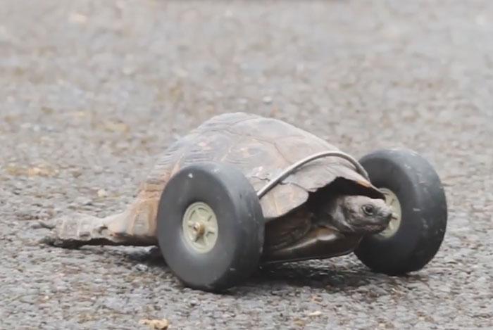 tortuga-90-anos-patas-devoradas-ruedas-gales (1)