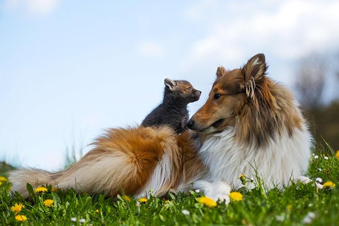 Este perro adoptó a una cría de zorro después de morir su madre en un accidente de coche