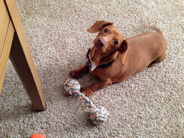 dennis-perro-salchicha-dieta-brooklyn-burton (2)