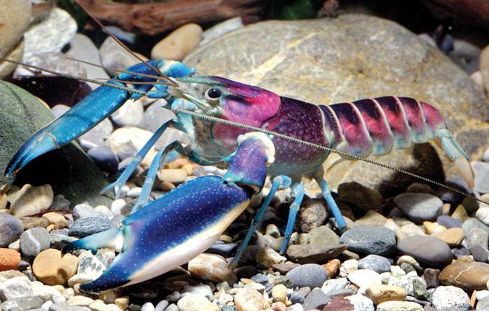 Descubierta una nueva especie de cangrejo de río en Indonesia con una nebulosa en el caparazón