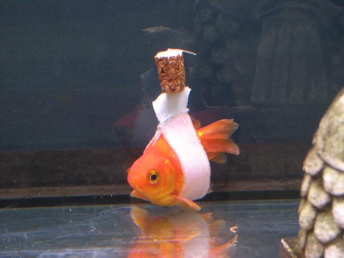 """El dueño de este pez le hizo una """"silla de ruedas"""" de corcho para ayudarle a nadar bien"""