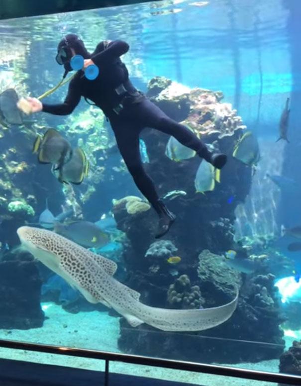 tiburon-leopardo-caricias-barriga-francia (1)