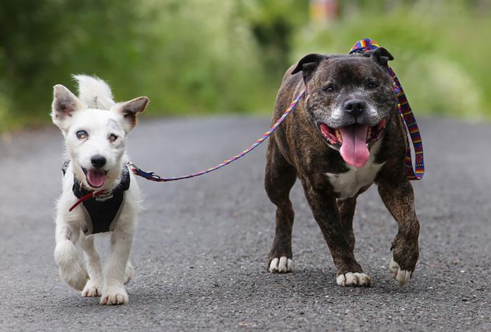 Este perro ciego tiene su propio perro guía y ambos amigos buscan un hogar