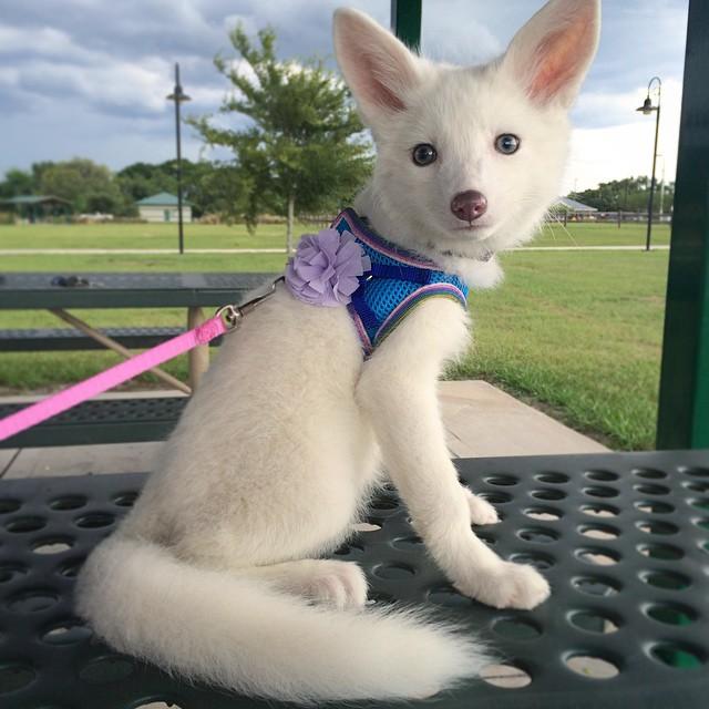 Rylai, el zorro blanco más adorable de internet, sigue creciendo