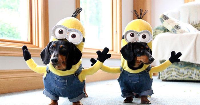 Estos perros salchicha están ridículamente geniales con sus disfraces caseros de minions