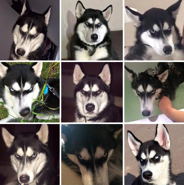 expresion-facial-perro-husky-traicionado-anuko-jasmine-milton (2)