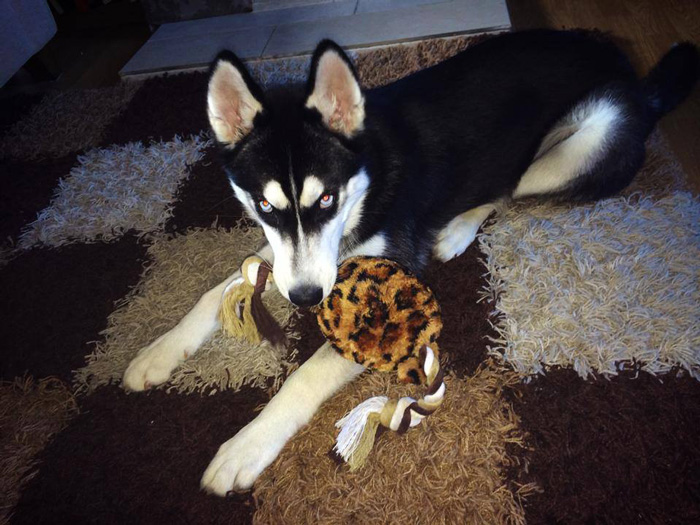 expresion-facial-perro-husky-traicionado-anuko-jasmine-milton (3)