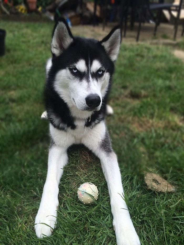 Su dueña simuló lanzar una pelota y captó el momento exacto en el que su perro se dio cuenta del engaño