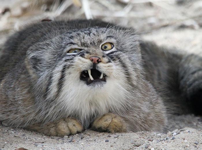 Los gatos Manul son los felinos más expresivos del mundo