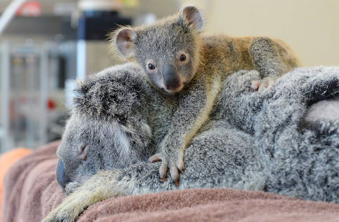 Este bebé koala abraza a su madre inconsciente durante la operación para salvar su vida
