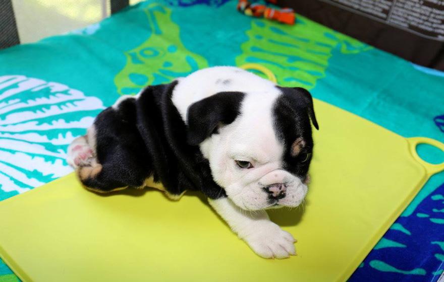 cachorro-perro-bulldog-2-patas-bonsai (1)