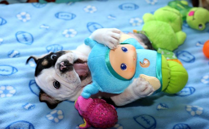 cachorro-perro-bulldog-2-patas-bonsai (3)