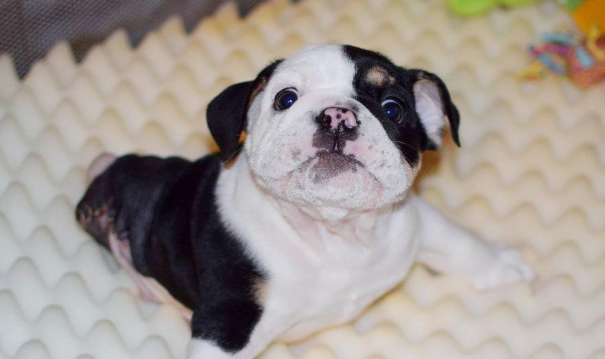 cachorro-perro-bulldog-2-patas-bonsai (9)