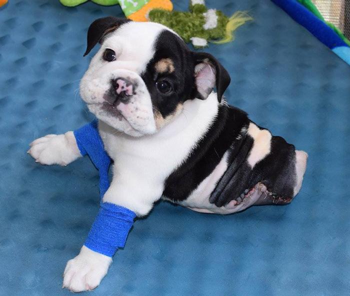 La mitad de perro pero el doble de amor: Este cachorro rescatado solo tiene 2 patas y necesita tu ayuda
