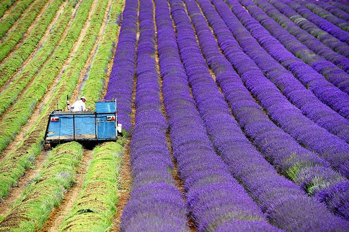 Hipnóticas fotos de la cosecha de los campos de lavanda