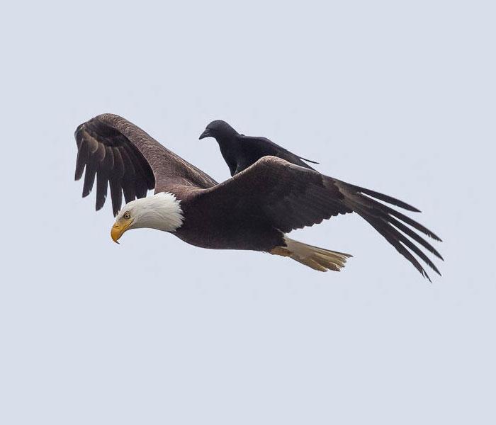 Fotos únicas de un cuervo montando sobre un águila en pleno vuelo