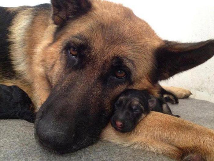 fotos-padres-perros-cachorros (14)