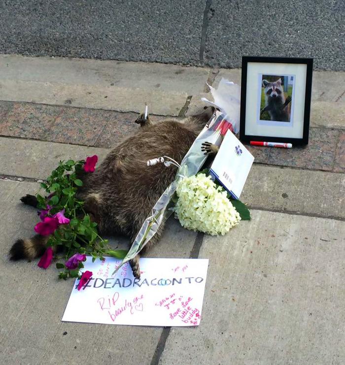 Homenaje en Toronto a un mapache muerto tras olvidar las autoridades recogerlo por más de 12 horas