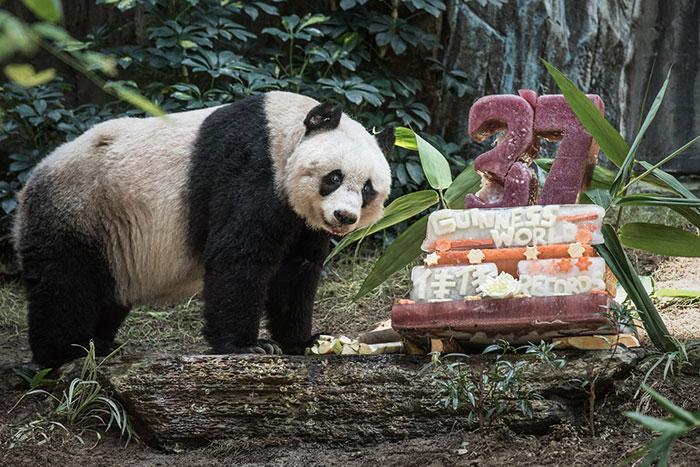 El panda más viejo del mundo cumple 37 años y establece un récord Guinness