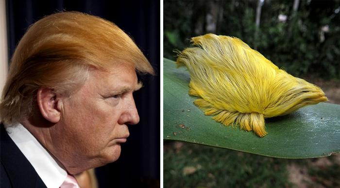 El pelo de Donald Trump se parece a esta oruga c1ae82380dbe