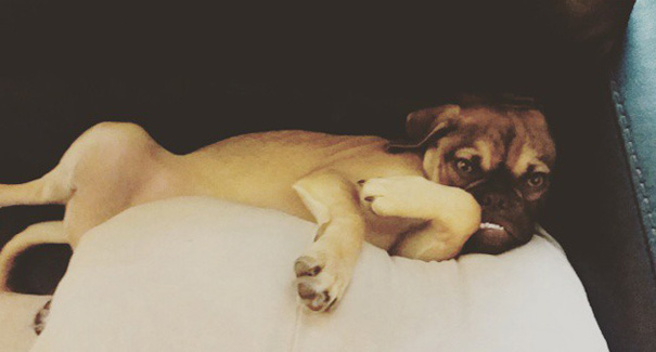 perro-grunon-earl-puggle-meme (5)