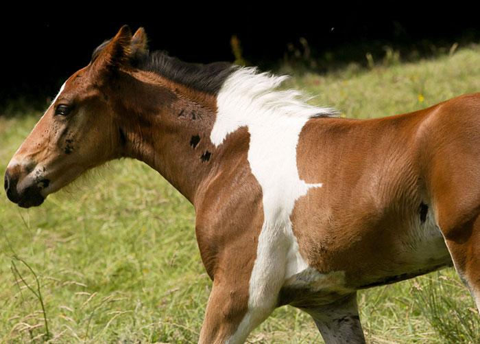 Este potro ha nacido con una marca que parece otro caballo