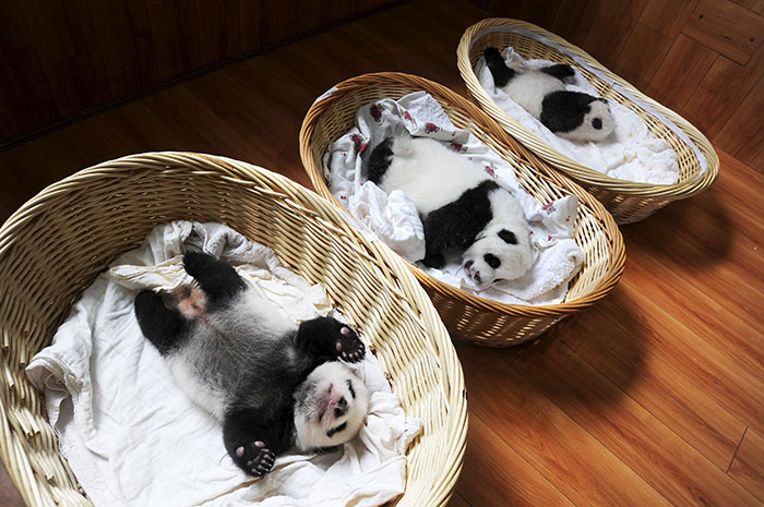 Esta es la 1ª aparición pública de estas crías de panda en un centro de conservación en China