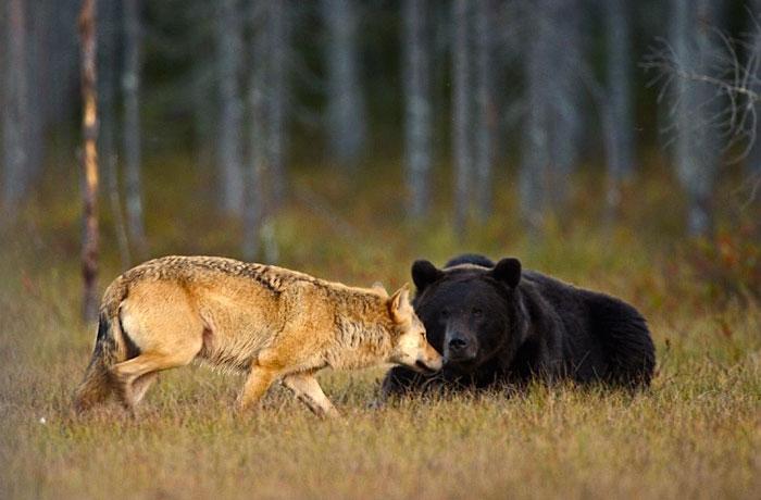 fotos-inusual-amistad-animal-lobo-oso-lassi-rautiainen-finlandia (11)
