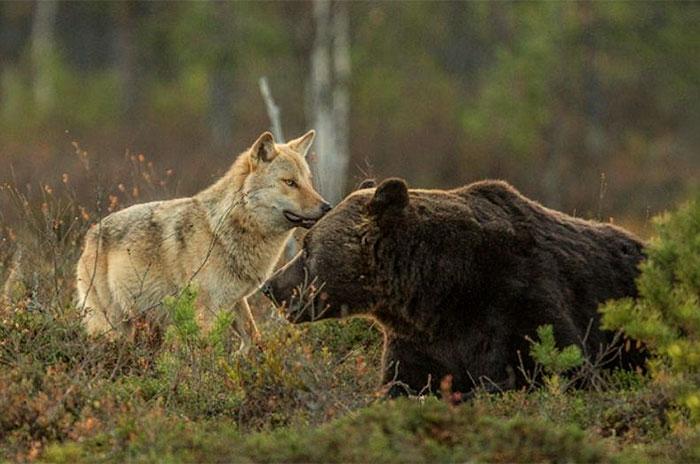 fotos-inusual-amistad-animal-lobo-oso-lassi-rautiainen-finlandia (2)