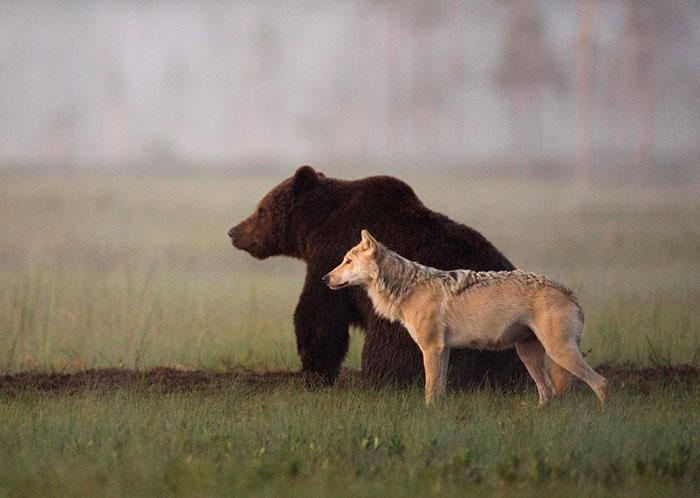 La inusual amistad entre un lobo y un oso documentada por un fotógrafo finés