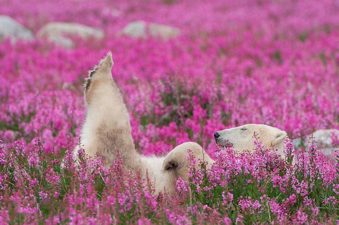 Este fotógrafo canadiense captó a unos osos polares jugando en un campo de flores