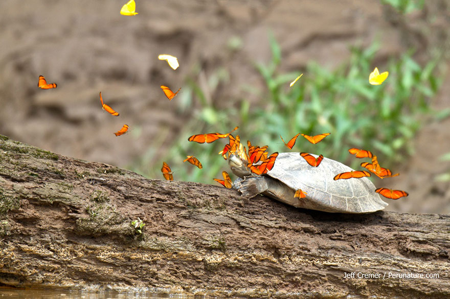 mariposas-beben-lagrimas-tortugas-ecuador (4)