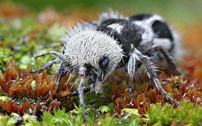 """Esta encantadora hormiga – panda es en realidad una avispa """"asesina de vacas"""""""