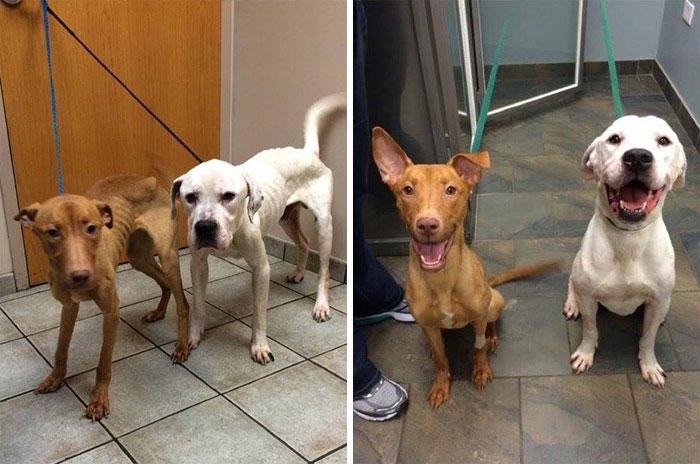 Estos 2 perros desnutridos pasaron de ser esqueletos a perros de nuevo