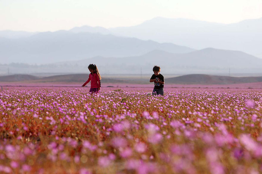 florecimiento-desierto-atacama-chile (7)