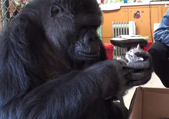 La gorila Koko adopta 2 gatitos tras ser incapaz de tener bebés