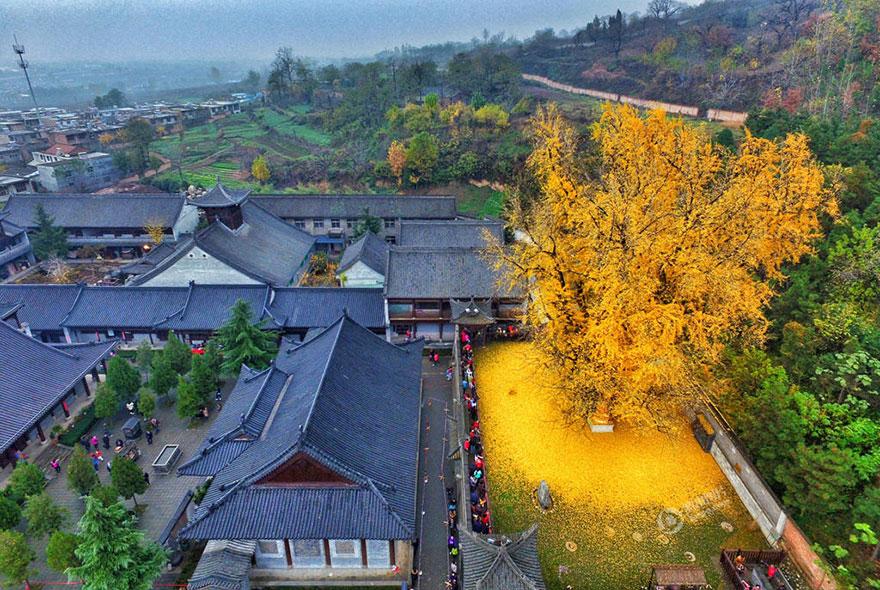 arbol-ginkgo-hojas-caidas-templo-budista-china (1)