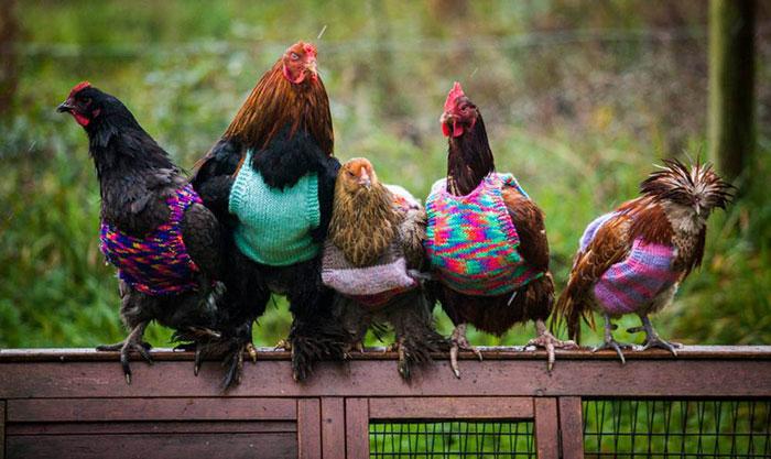 Diminutos jerséis tejidos a mano para dar calor a estas gallinas rescatadas
