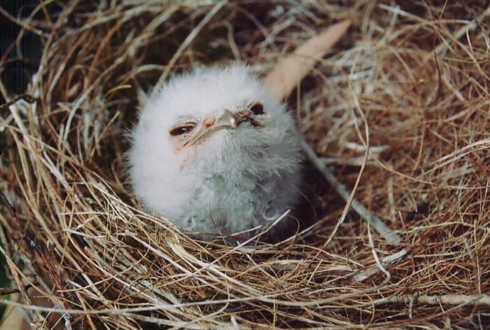 Esta adorable ave parecida a un búho es el podargo australiano