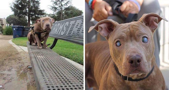 Una 2ª oportunidad para esta pitbull ciega abandonada en un parque tras dar a luz
