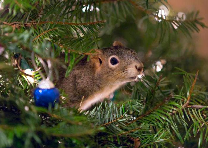 Esta pareja salvó a una ardilla y ahora vive en su árbol de Navidad