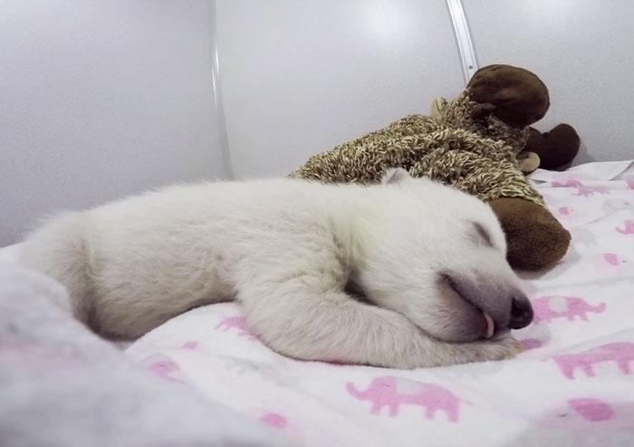 Mira a este osito polar abandonado haciendo ruiditos mientras duerme con su peluche