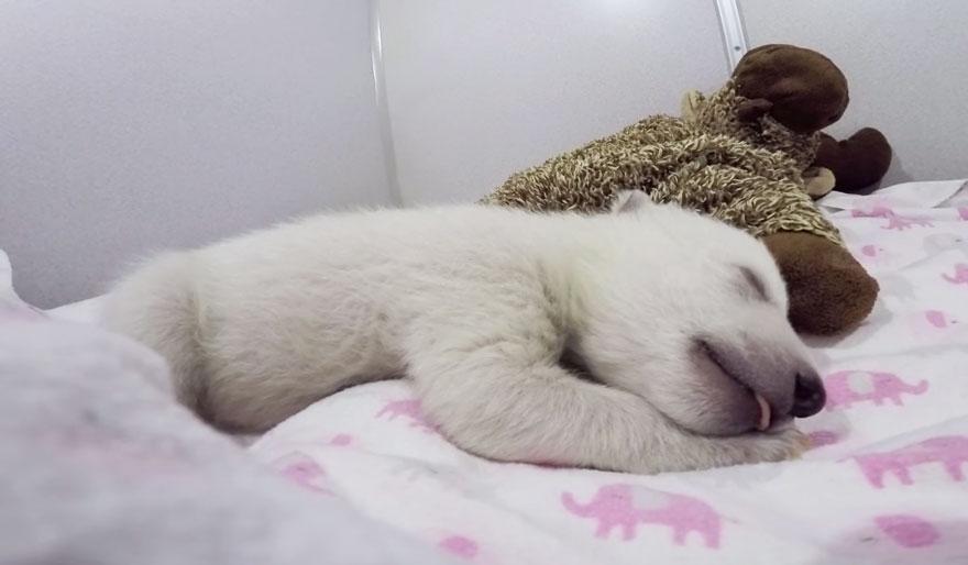 osezno-polar-abandonado-dormido-peluches-columbus-zoo