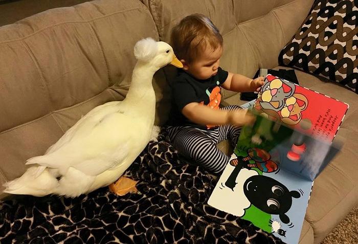 Este pato se convierte en el protector de este niño y le sigue por doquier  | Bored Panda