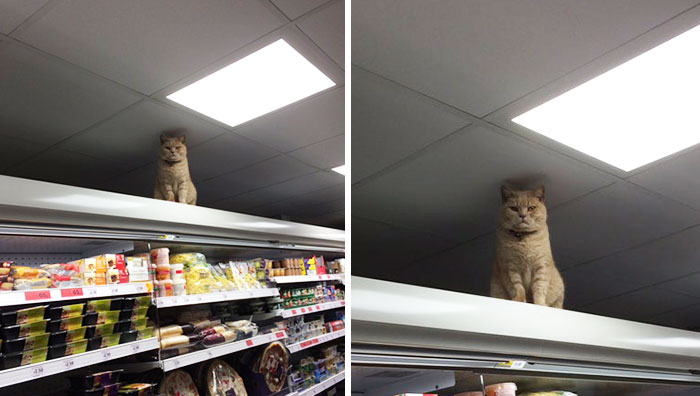 Este gato demuestra ser el verdadero dueño de este supermercado en Londres